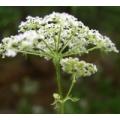 БОЛИГОЛОВ пятнистый, ОНКОЛОГИЯ, трава сушёная, 50 грамм