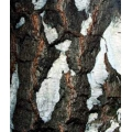 берёза, кора, СК СО2 экстракт, сверкритический, флюидный, Россия, 5 мл