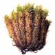 СФАГНУМ, торф, торфяной мох, СК СО2 экстракт, сверкритический, флюидный, Россия, 5 мл